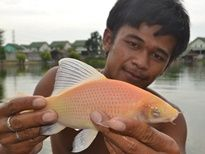 Thai Fish Species - Red Labeo