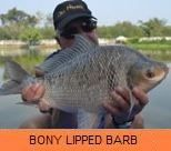 Photo Gallery - Bony Lipped Barb