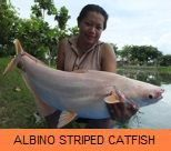 Photo Gallery - Albino Striped Catfish