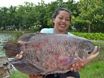 Thai Fish Species - Elephant Ear Gourami