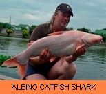 Photo Gallery - Albino Catfish Shark