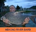 Photo Gallery - Mekong River Barb