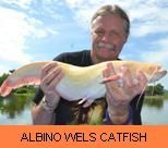 Photo Gallery - Albino Wels Catfish