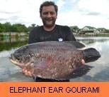 Photo Gallery - Elephant Ear Gourami