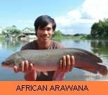 Photo Gallery - African Arawana