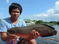 Thai Fish Species - African Arawana