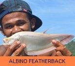 Photo Gallery - Albino Featherback