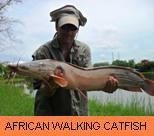 Photo Gallery - African Walking Catfish