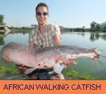 Thai Fish Species - African Walking Catfish