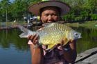 Golden Bellied Barb