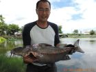 Ripsaw Catfish