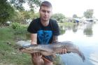 African Walking Catfish