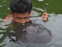 Thai Fish Species - Motoro Stingray