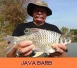 Photo Gallery - Java Barb