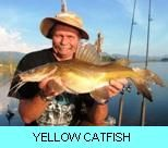 Khao Laem Dam Gallery - Yellow Catfish