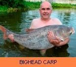 Thai Fish Species - Bighead Carp