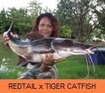 Photo Gallery - Redtail x Tiger Catfish